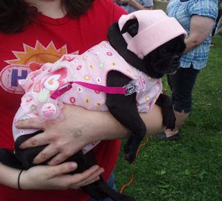 baby-black-pug.jpg